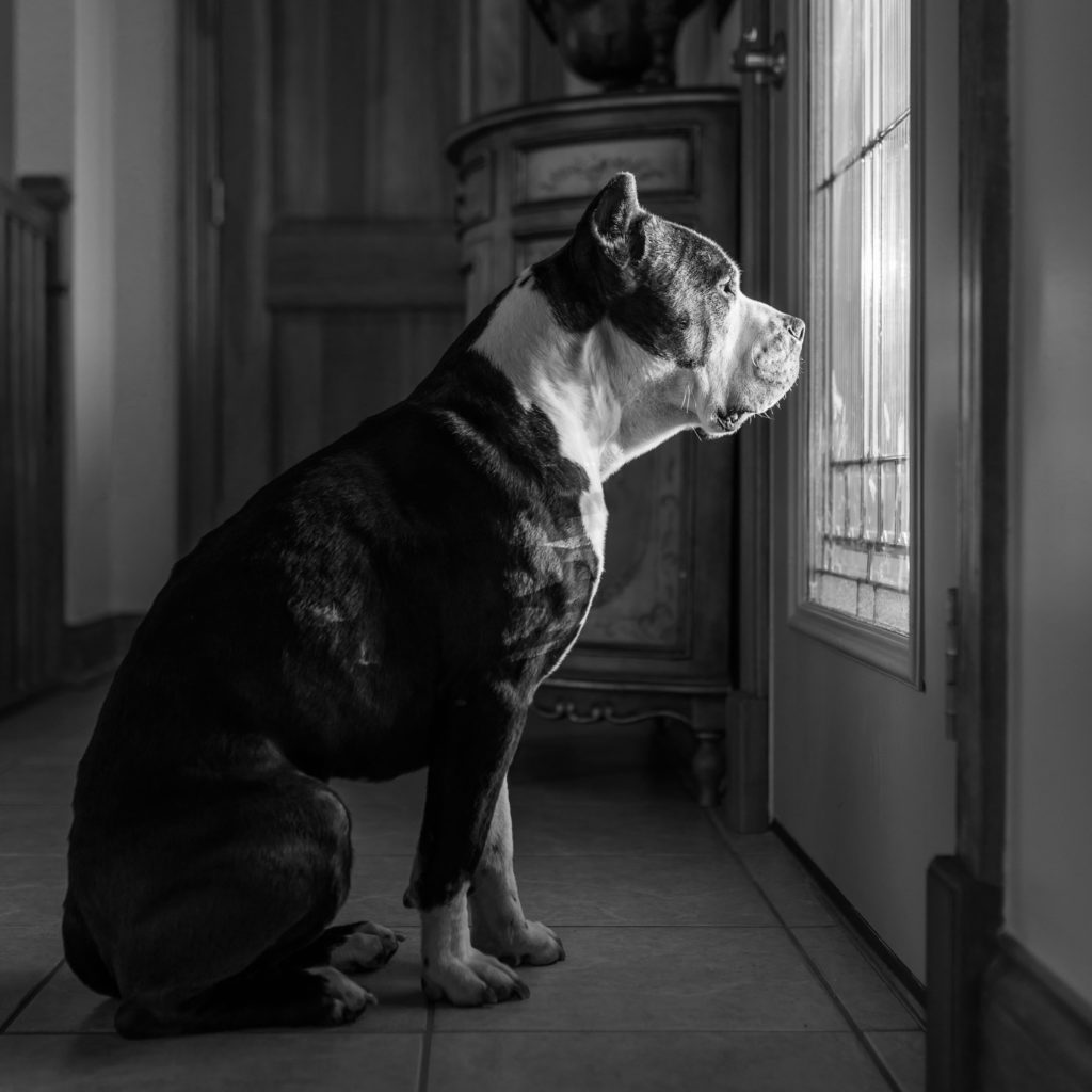 Dogs are Deserving foster dog pit bull terrier at window